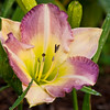 Daylily, Hemerocallis 'CLAIRVOYANT COMPOSER', at Mercer Arboretum and Botantical Gardens in Spring, Texas.