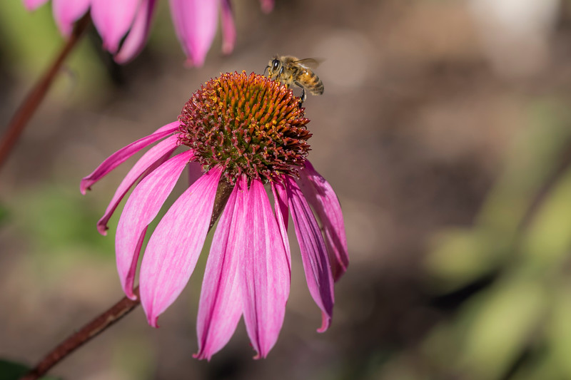 Purple Coneflower with bee at Mercer Arboretum and Botanical Gardens