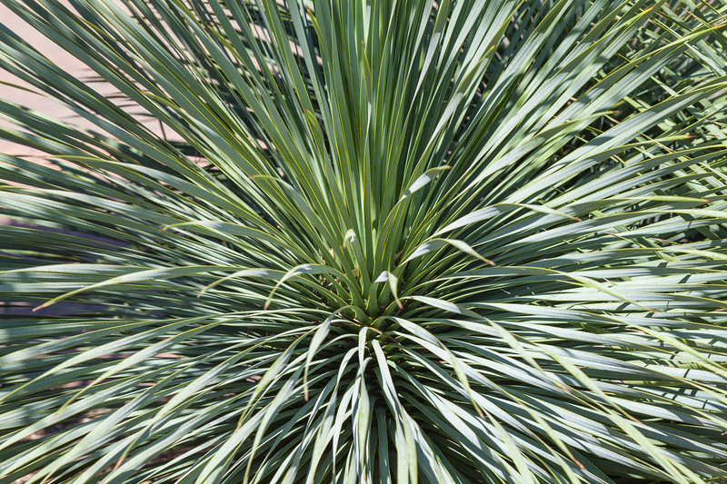 Blue Beaked Yucca at Mercer Botanical Gardens.