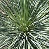 Blue Beaked Yucca at Mercer Botanical Gardens.