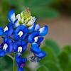 Texas Bluebonnet, Lupinus texensis, at Mercer Arboretum and Botanical Gardens in Spring, Texas.