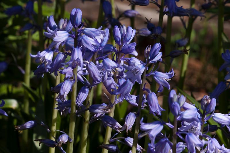 Spanish Bluebells, Hyacinthoides hispanica 'MIX', at Mercer Arboretum and Botanical Gardens in Spring, Texas.