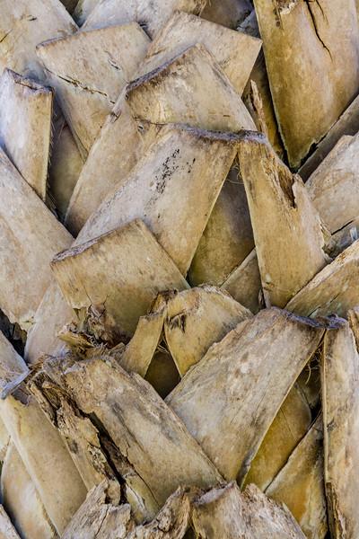 Bark of Maya Palm Tree, Sabal guatemalensis, at Mercer Arboretum and Botanical Gardens in Spring, Texas.