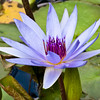 Waterlily at Mercer Arboretum and Botantical Gardens in Spring, Texas.
