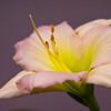 Daylily, Hemerocallis 'APPLE BLOSSUM SUE', at Mercer Arboretum and Botanical Gardens in Spring, TX.