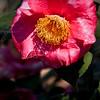 Camellia 'R.L. Wheeler', Camellia japonica 'R.L. WHEELER', at Mercer Arboretum and Botanical Gardens in Spring, Texas.
