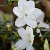 Azalea, Rhododendron x 'IRISH CREME', at Mercer Arboretum and Botanical Gardens in Spring, Texas.