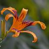 Daylily, Hemerocallis 'Taj Mahal', at Mercer Arboretum and Botanical Gardens in Spring, Texas.