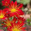 Chrysanthemums, Chrysanthemum x 'POINT PELEE', at Mercer Arboretum and Botanical Gardens in Spring, Texas.