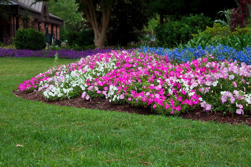 Petunias, Petunia x hybrida 'WAVE EASY PINK MARBLE MIX', at Mercer Arboretum and Botanical Gardens in Spring, TX.