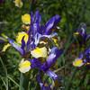 Dutch Iris GOLDEN LANCE at Mercer Botanical Gardens.