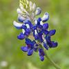 Texas Bluebonnet, Lupinus texensis , at Mercer Arboretum in Spring, Texas.