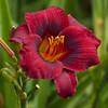 Daylily, Hemerocallis 'LITTLE CHRISTINE', at Mercer Arboretum and Botanical Gardens in Spring, TX.