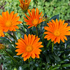 Gazinia 'Gazoo Clear Orange', Gazania rigens, at Mercer Arboretum and Botanical Gardens in Spring, Texas.