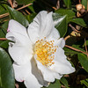 Camellia sasanqua GINGETSU at Norfolk Botanical Gardens.