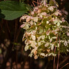 Hydrangea paniculata ZWUNENBURG at Norfolk Botanical Gardens in Norkfolk, Virginia.