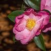 Camellia sasanqua PINK BUTTERFLY at Norfolk Botanical Gardens in Norkfolk, Virginia.