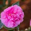 Camellia hiemalis SHOWA NO SAKE at Norfolk Botanical Gardens in Norkfolk, Virginia.