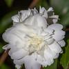 Camellia x SNOW FLURRY in Norfolk Botanical Gardens.