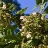 Hydrangea paniculata GREENSPIRE at Norfolk Botanical Gardens in Norkfolk, Virginia.