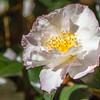 Cameilia sasanqua DAYDREAM at Norfolk Botanical Gardens in Norkfolk, Virginia.