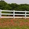 Indian Paintbrush wildflowers, Castilleja indivisa, blooming in spring along farm-to-market road in Texas.