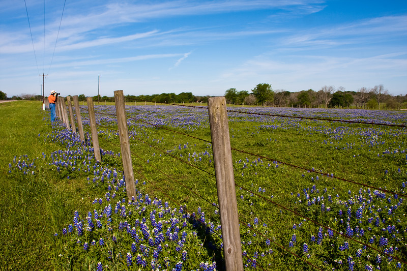 Photographing Texas Bluebonnets, Lupinus texensis, in the spring on Texas farm-to-market road in Southeastern Texas.