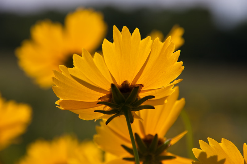 Backlit, translucent Coreopsis wildflowers along farm-to-market road in Southeast Texas.