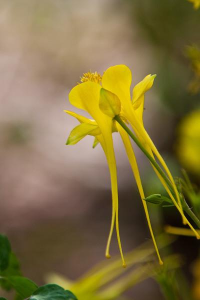 Yellow Columbine, Aquilegia chrysantha, at the Antique Rose Emporium Gardens near Indpendence, Texas.