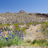 Big Bend Bluebonnet, Lupinus havardii, in Big Bend National Park in Texas.