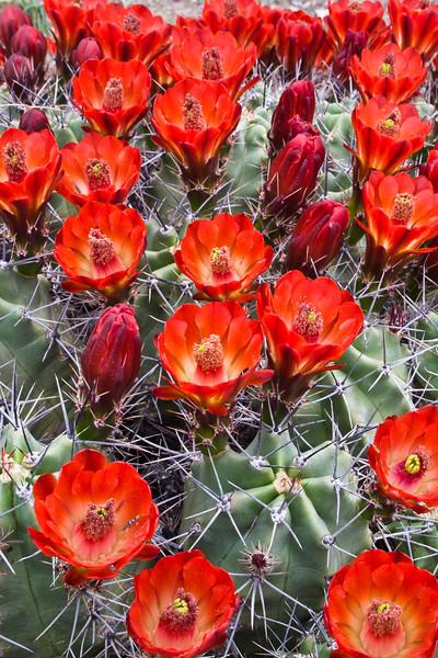 Claret Cup Cactus in bloom,<br /> Echinocereus triglochidiatus,<br /> Cactaceae family, in southwest Texas.