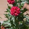 Oriental Poppy, Papaver orientale, at Rose Emporium Gardens near Indpendence, Texas.