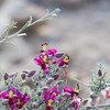Range Ratany,<br /> Krameria glandulosa, Ratany family (Krameraceae), in Big Bend National Park