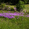 Downy Phlox wildflowers, Phlox pilosa, blooming in spring at a cemetary by the side of the road on Texas 362 near Texas Highway 105.
