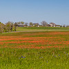 Fields of Texas Indian Paintbrush and Texas Bluebonnet wildflowers near Whitehall, Texas.