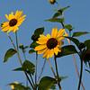 Sunflower at the Rose Emporium Gardens near Independence, Texas.