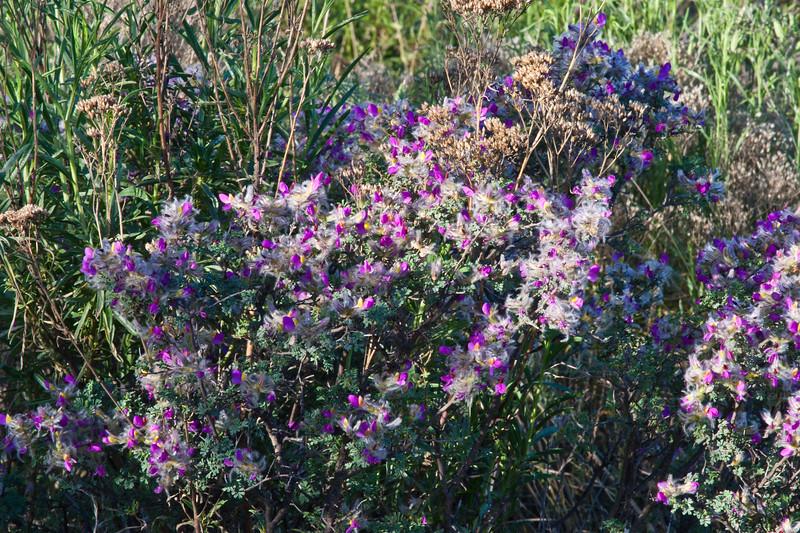 Guayacan bush, Guaiacum angustifolium, in Big Bend National Park in Texas.