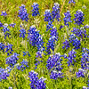 Field of Texas Bluebonnets along Texas highway 105 between Navasota and Brenham.