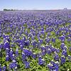 Field of Texas Bluebonnets, Lupinus texensis, and Indian Paintbrush, Castilleja indivisa, on a farm near Whitehall, Texas.