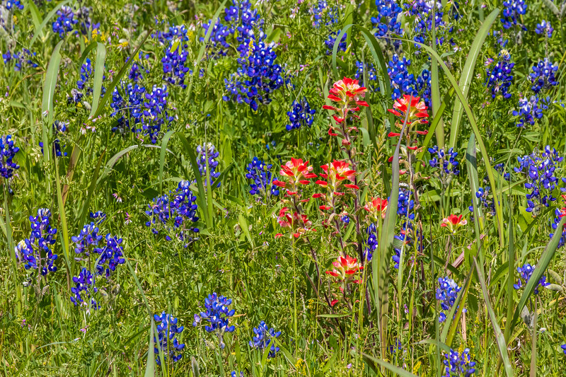 Field of Texas Bluebonnets and Indian Paintbrush along Texas highway 105 between Navasota and Brenham.