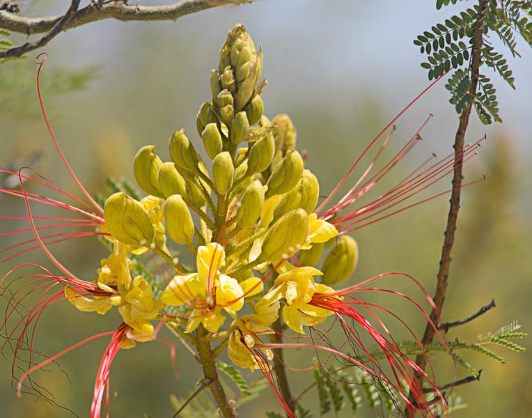 Bird-of-Paradise wildflower, Caesalpinia gilliesii, at Big Bend Ranch State Park in Texas.