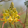 Bird-of-Paradise wildflower, Caesalpinia gilliesii, at Big Bend Ranch State Park in Texas.