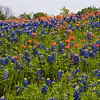 Fields of Texas Bluebonnets (Lupinus texensis), Indian Paintbrush (Castilleja individa), and Coreopsis wildflowers blooming in spring at Old Baylor College historic site in Independence, Texas.