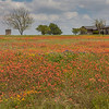 Field of Indian Paintbrush and other wildflowers at Old Baylor College Park in Independence, Texas.