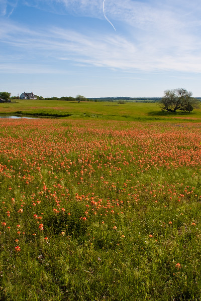 Indian Paintbrush wildflowers, Castilleja indivisa, blooming in spring along Farm-to-Market road in Southeastern Texas.