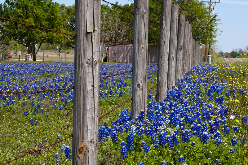 Texas Bluebonnets, Lupinus texensis, along a fence line at Whitehall, Texas.