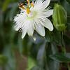 White Passion Flower, Passiflora subpeltata, at the Antique Rose Emporium Gardens near Indpendence, Texas.