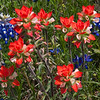 Texas Bluebonnets, Lupinus texensis, and Indian Paintbrush wildflowers, Castilleja indivisa, blooming in spring along Farm-to-Market road in Southeastern Texas.