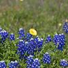 Texas Bluebonnets, Lupinus texensis, with Texas Dandelion, Pyrrhopappus carolinianus, in fields along Texas highway 382 near Whitehall, Texas.