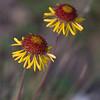 Red Dome Blanketflower, Gaillardia pinnatifida, at Petersen Ranch in West Texas.